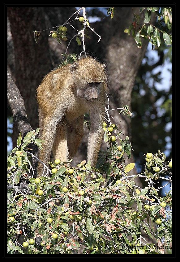 Baboon's life Babouin_10