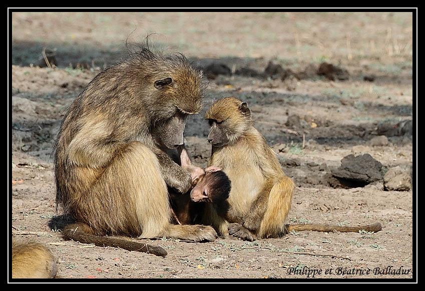 Baboon's life Babouin_20