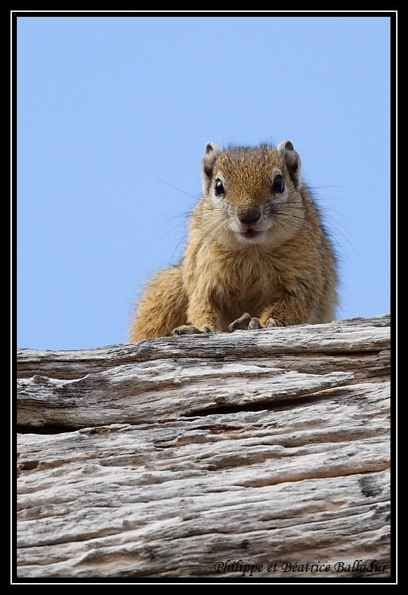 D'Eby l'écureuil... Ecureuil_brousse_01