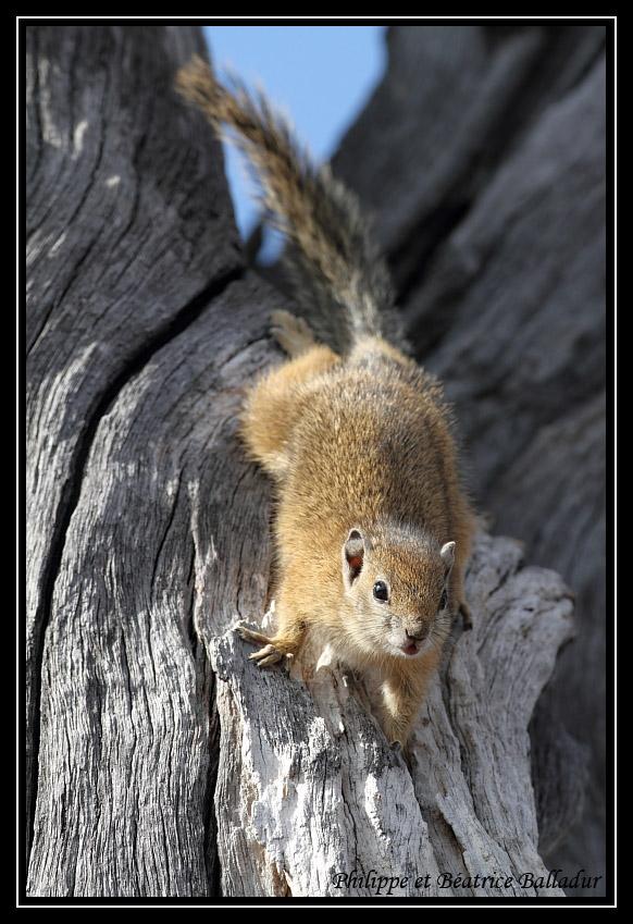 D'Eby l'écureuil... Ecureuil_brousse_03