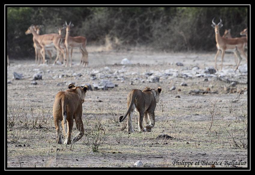Les lions du Botswana... Lion_01