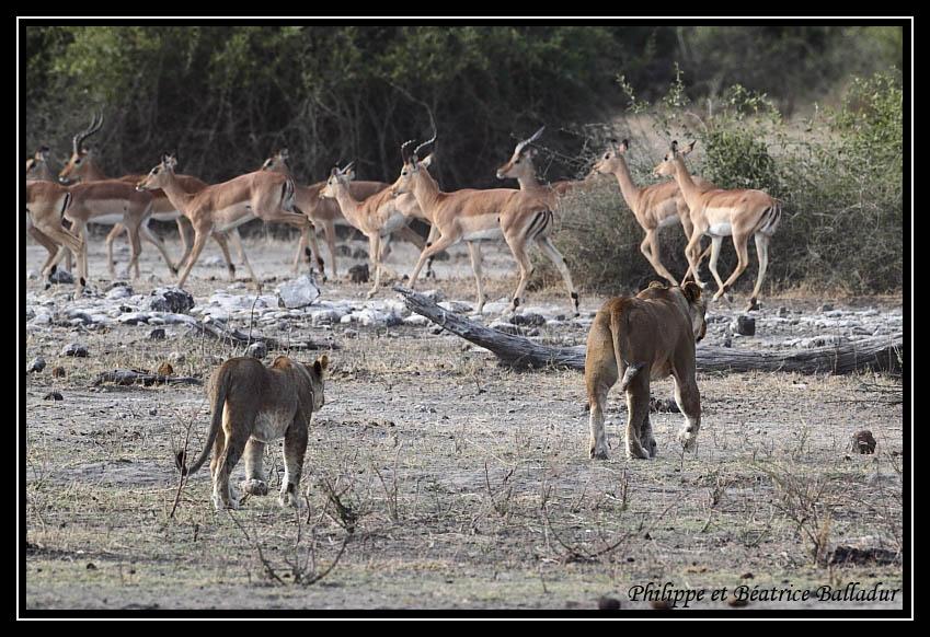 Les lions du Botswana... Lion_02