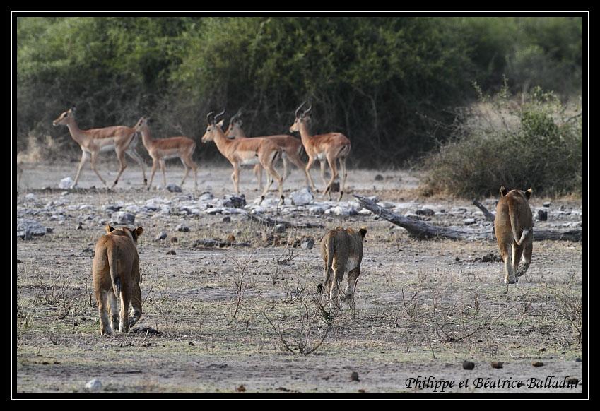 Les lions du Botswana... Lion_03