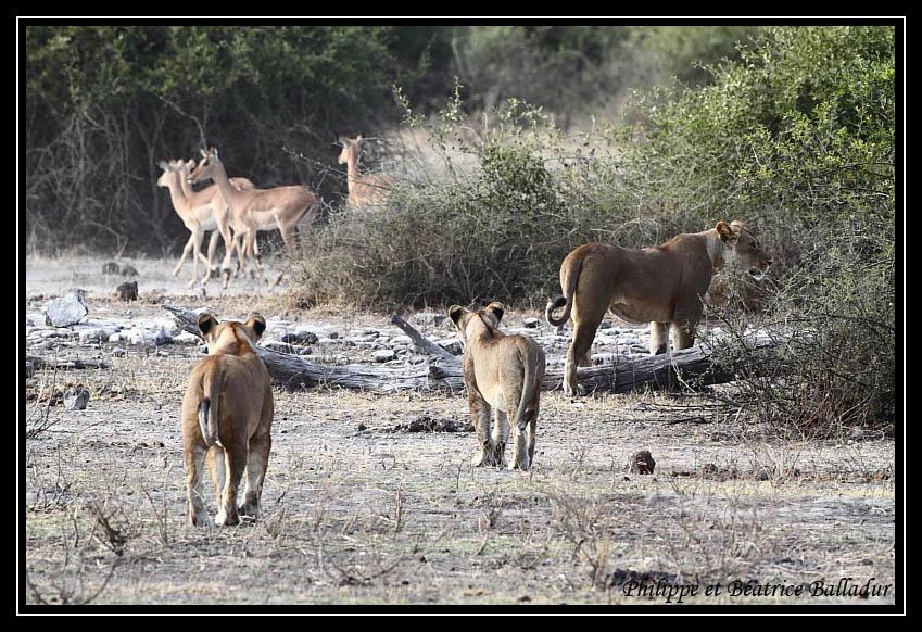 Les lions du Botswana... Lion_04