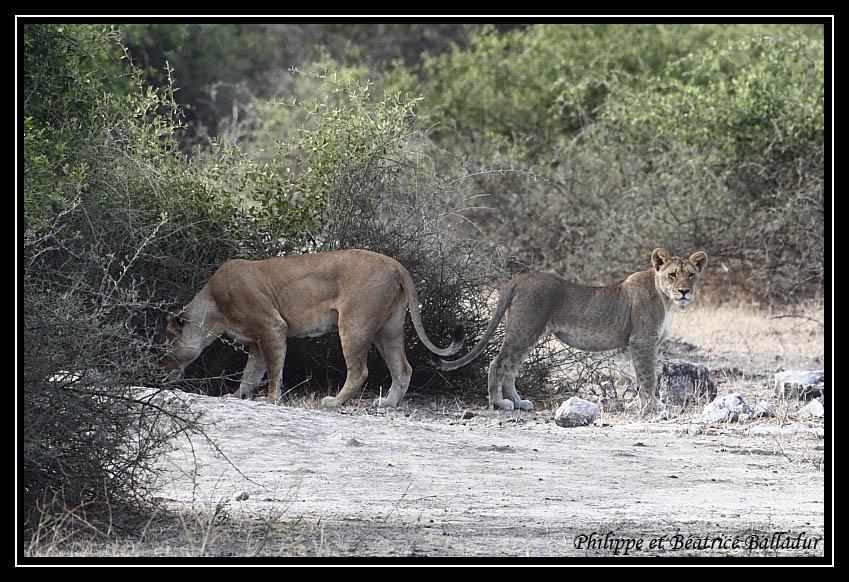 Les lions du Botswana... Lion_05