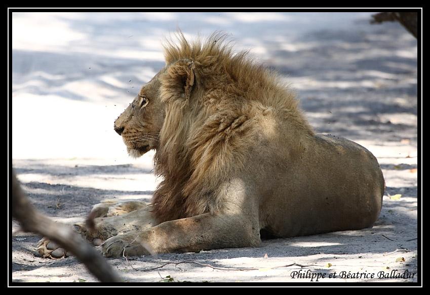Les lions du Botswana... Lion_06