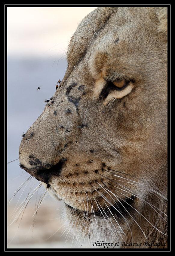 Les lions du Botswana... Lion_08