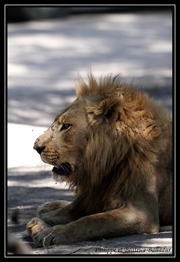 Les lions du Botswana... Lion_10