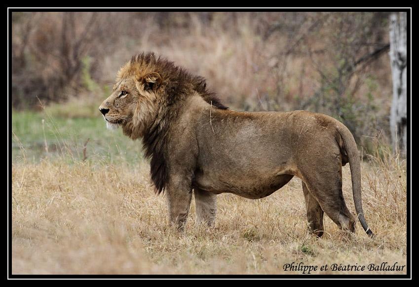 Les lions du Botswana... Lion_13
