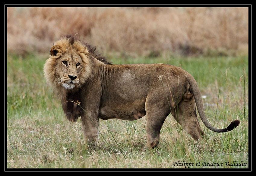 Les lions du Botswana... Lion_16