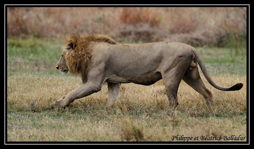 Les lions du Botswana... Lion_17