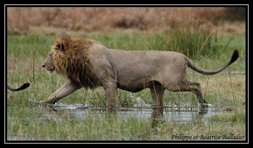 Les lions du Botswana... Lion_18