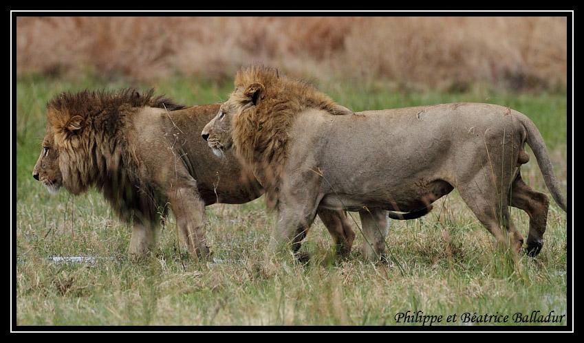 Les lions du Botswana... Lion_19