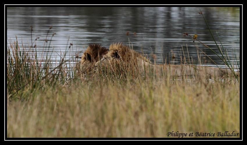 Les lions du Botswana... Lion_21