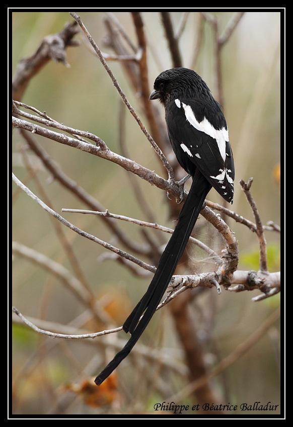 Corvinelle noir et blanc Corvinelle_01