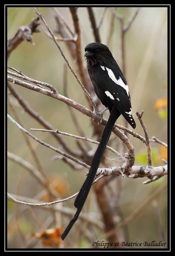 Corvinelle noir et blanc Corvinelle_02