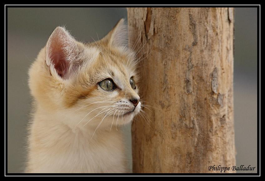 Des chatons pour LN... et les autres... Chat_sables_01