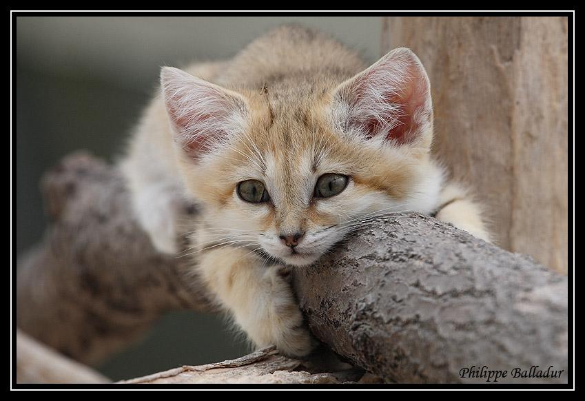 Des chatons pour LN... et les autres... Chat_sables_02