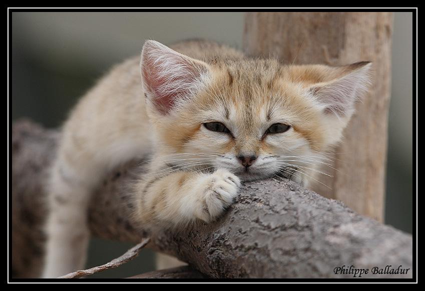 Des chatons pour LN... et les autres... Chat_sables_03