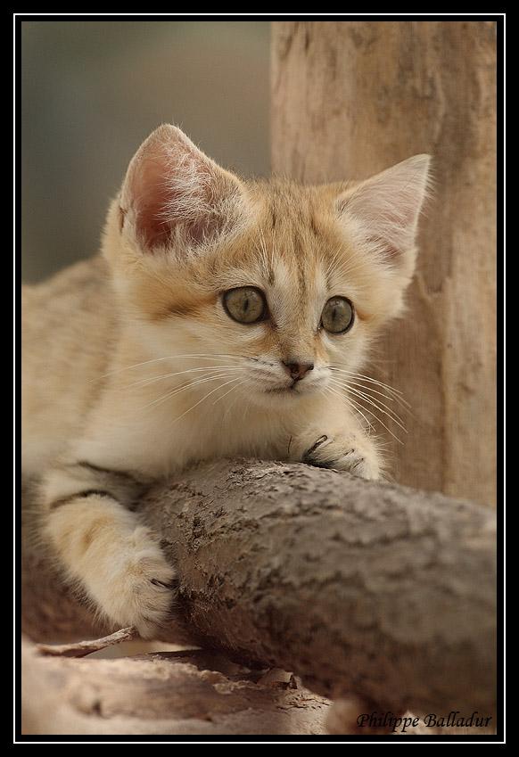 Des chatons pour LN... et les autres... Chat_sables_04