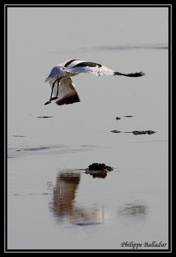 Pêche à pieds...euh... à pattes ! Avocette_Elegante_03
